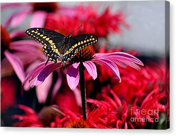 Black Swallowtail Butterfly With Coneflowers And Bee Balm Canvas Print by Karen Adams