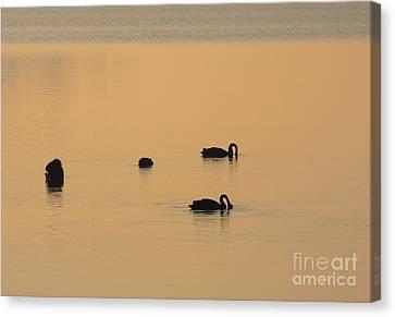 Black Swan Dawn Canvas Print by Mike Dawson