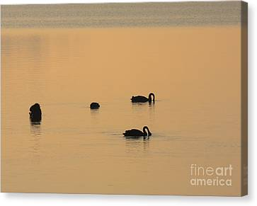 Black Swan Dawn Canvas Print by Mike Dawson