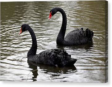 Black Swans Canvas Print by Denise Swanson