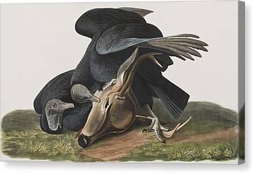 Black Vulture Or Carrion Crow Canvas Print by John James Audubon