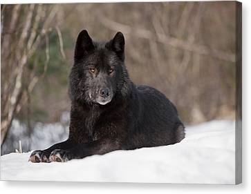 Black Wolf Canvas Print by John Hyde - Printscapes