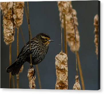 Blackbird On Cattail Canvas Print by Don L Williams