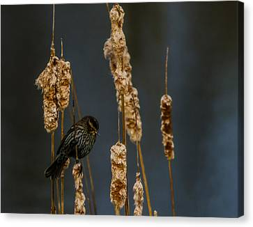 Blackbird On Cattail2 Canvas Print by Don L Williams