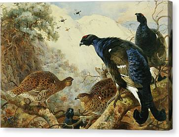 Blackgame Or Black Grouse Canvas Print by Archibald Thorburn