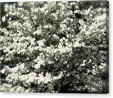 Blooming Dogwood Canvas Print by Chad Kroll