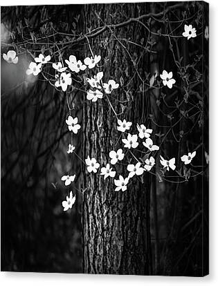 Blooming Dogwoods In Yosemite Black And White Canvas Print by Larry Marshall