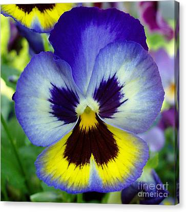 Blue And Yellow Pansy Canvas Print by Nancy Mueller
