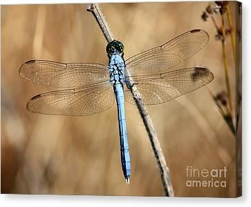 Blue Beauty Canvas Print by Carol Groenen
