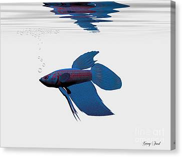 Blue Betta Canvas Print by Corey Ford