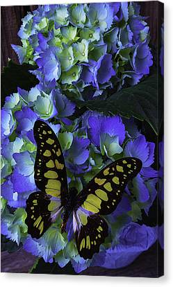 Blue Butterfly On Hydrangea Canvas Print by Garry Gay