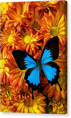 Blue Butterfly On Mums Canvas Print by Garry Gay