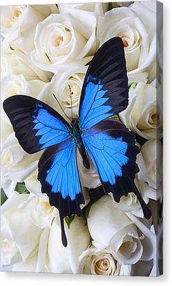 Blue Butterfly On White Roses Canvas Print by Garry Gay