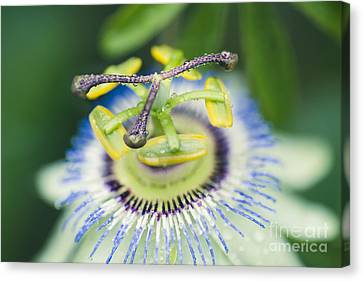 Blue Crown Passiflora Caerulea Passion Flower Canvas Print by Sharon Mau