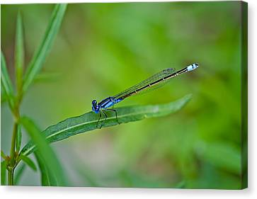 Blue Dragonfly Canvas Print by Az Jackson