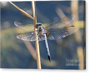Blue Dragonfly Canvas Print by Carol Groenen