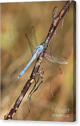 Blue Dragonfly Portrait Canvas Print by Carol Groenen