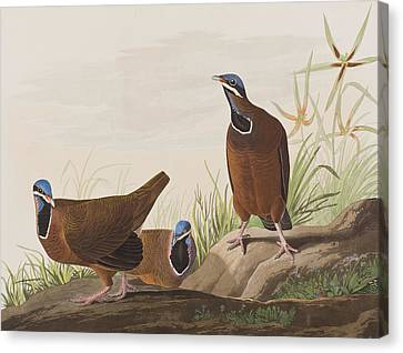 Blue Headed Pigeon Canvas Print by John James Audubon