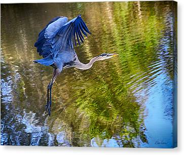 Blue Heron Flying Canvas Print by Diana Haronis