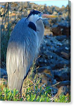 Blue Heron Visions Canvas Print by Nada Frazier