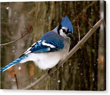 Blue Jay In The Snow Canvas Print by Debra     Vatalaro