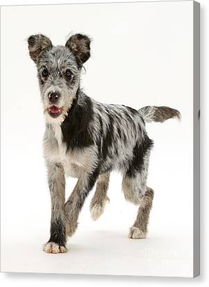 Blue Merle Mutt Canvas Print by Mark Taylor