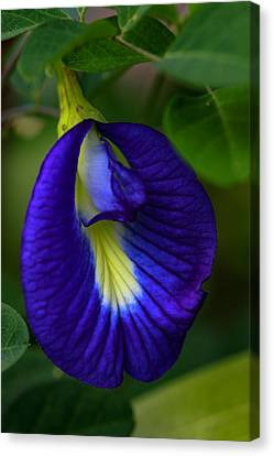 Blue Pea Canvas Print by Ramabhadran Thirupattur