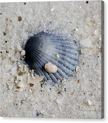 Blue Purple Ribbed Sea Shell Macro Buried In Fine Wet Sand Square Format Canvas Print by Shawn O'Brien