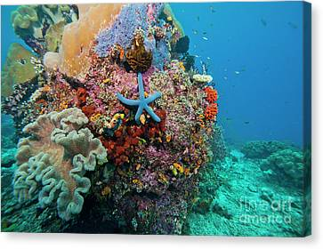 Blue Starfish On Coral Reef, Raja Canvas Print by Beverly Factor