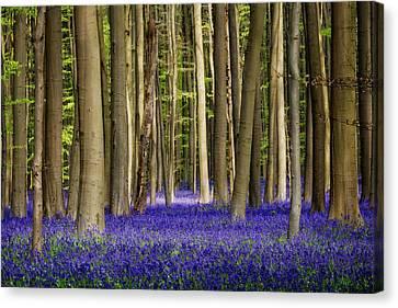 Bluebell Forest Canvas Print by Danny Van den Groenendael