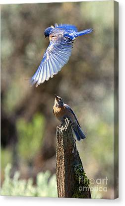 Bluebird Buzz Canvas Print by Mike Dawson