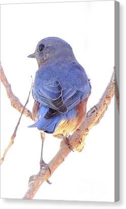 Bluebird On White Canvas Print by Robert Frederick