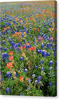 Bluebonnets And Paintbrushes 3 - Texas Canvas Print by Brian Harig