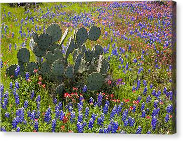 Bluebonnets Paintbrush And A Prickly Pear - Texas Hill Country Canvas Print by Brian Harig