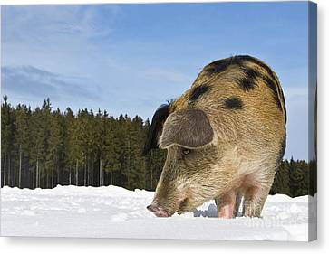 Boar Digging In The Snow Canvas Print by Jean-Louis Klein & Marie-Luce Hubert
