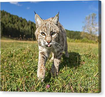 Bobcat Close Up Canvas Print by Jerry Fornarotto