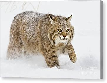 Bobcat In Snow Canvas Print by Jerry Fornarotto
