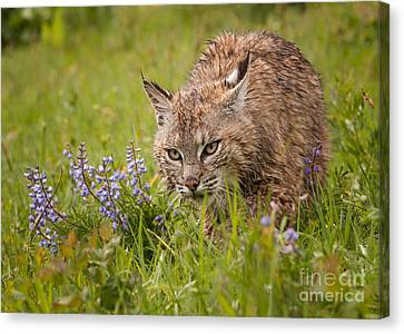 Bobcat Stalking Canvas Print by Jerry Fornarotto