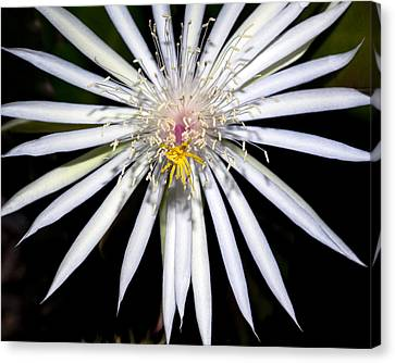 Bold Cactus Flower Canvas Print by Kelley King