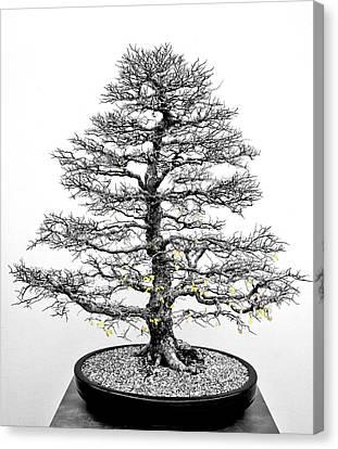 Bonsai Elm Tree - Canberra - Australia Canvas Print by Steven Ralser