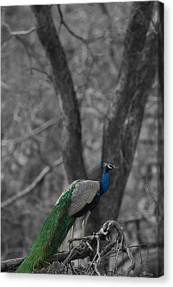Book Cover - Peacock Canvas Print by Ramabhadran Thirupattur