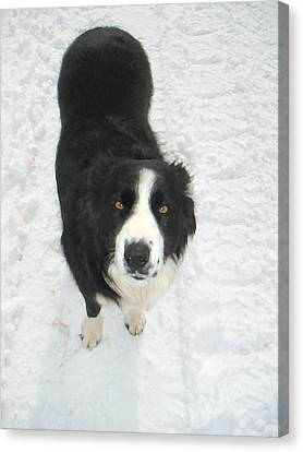 Border Collie In Snow With Amber Eyes Canvas Print by Sandra McGinley