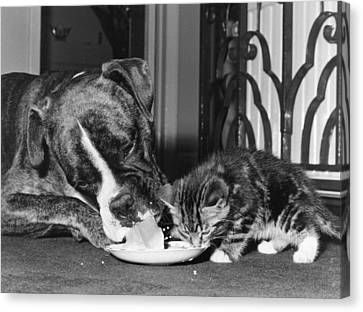 Boxer And Kitten Canvas Print by Evening Standard
