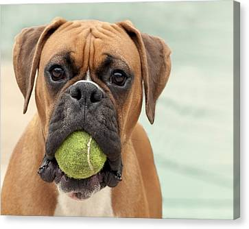 Boxer Dog Canvas Print by Jody Trappe Photography