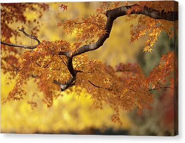 Branch Of Japanese Maple In Autumn Canvas Print by Benjamin Torode