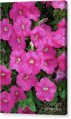 Bright Pink Hollihocks Canvas Print by Allan Seiden - Printscapes