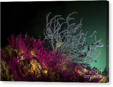 Brightly Colored Soft Coral, Dibba Canvas Print by Mathieu Meur