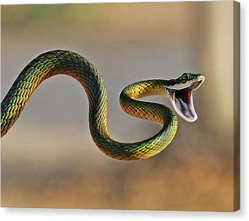Brightly Coloured Parrot Snake Canvas Print by Suebg1 Photography