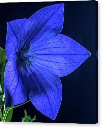 Brilliant Deep Blue Balloon Flower Canvas Print by Douglas Barnett