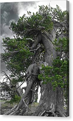 Bristlecone Pine Tree On The Rim Of Crater Lake - Oregon Canvas Print by Christine Till